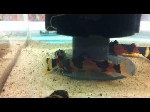 Microglanis iheringi
