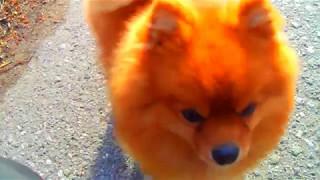 Смешные собаки.Шпиц Персик с друзьями,на прогулке!!!