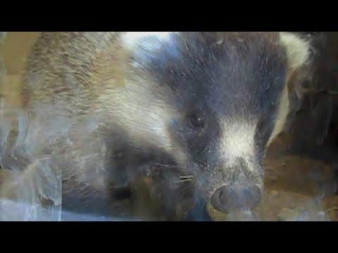 【東山動植物園公式】ニホンアナグマが来園しました