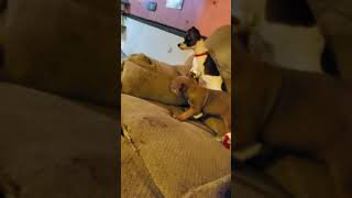 American Pit Bull Terrier Puppies Videos