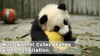 Must Watch 1 ! Cutest Panda Video Compilation | iPanda