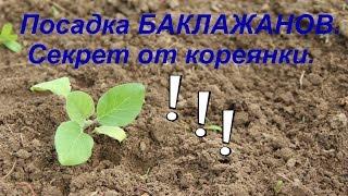 Посадка баклажанов. Секрет урожая от кореянки. Часть I.