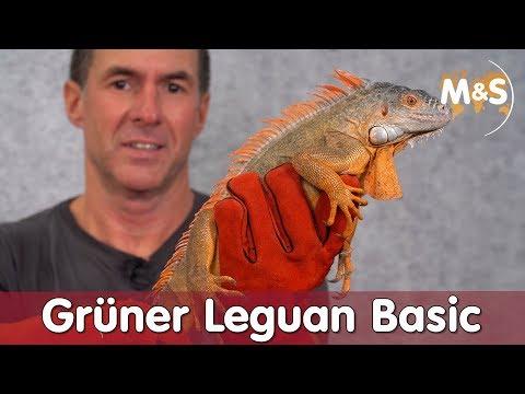 Grüner Leguan Basic | Iguana iguana | Reptil TV