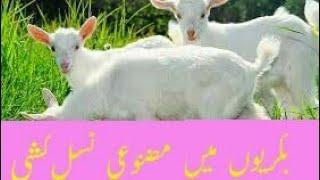 goat farming in punjab pakistan urdu - मुफ्त