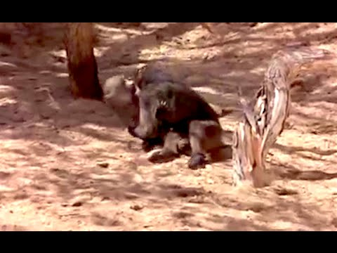 Zvířata na káry - Ozzy Man