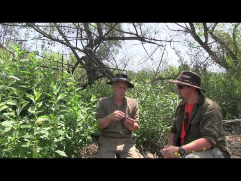 Video The Uses For Mugwort Featuring Jeff Martin And Christopher Nyerges