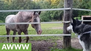 Husky's precious encounter with horses and cows