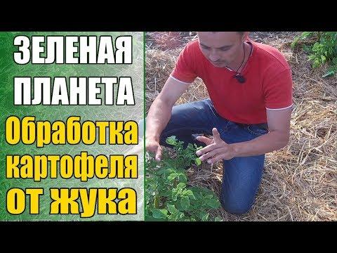Обработка картофеля от колорадского жука