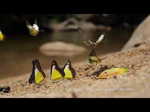 マレーシアのチョウの吸水集団2018.04