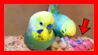 Cara Membesarkan Burung Parkit Australia Dengan Tangan 🐤 Pembiakan Burung Parkit Australia