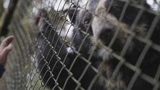 Habitat destruction threatens South America's spectacled bear