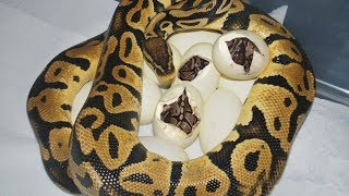 Ball Python laying eggs and baby python hatching from eggs time lapse