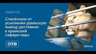 Спасённую от усыпления уральскую львицу доставили в крымский сафари-парк