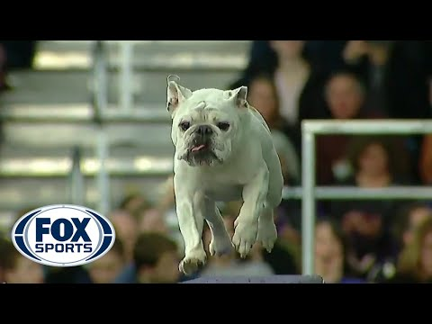 Watch Rudy the Bulldog crush the 2019 WKC Masters Agility course