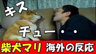 チュー柴犬ペット海外の反応シバイヌ、マリちゃんがキスを嫌がる神業!外国人も・・まるっと日本の話題