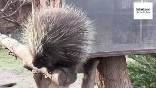 Baumstachler im Zoo Magdeburg