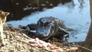 Кот напал на крокодила