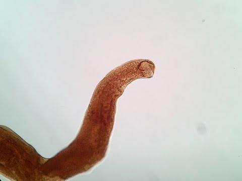 Parassiti caratteristici di funghi