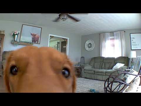 Golden Retriever Discovers He's on Camera