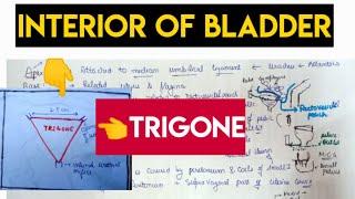 Interior of urinary bladder - trigone in simple way