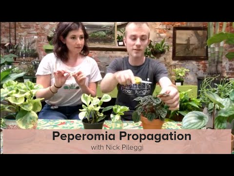 Peperomia Overview and Propagation with Nick Pileggi