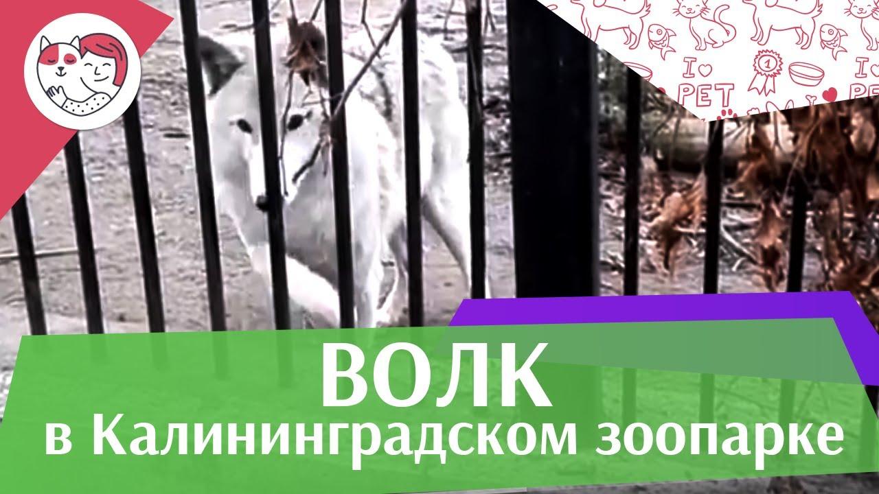 Волк в Калининградском зоопарке на ilikepet