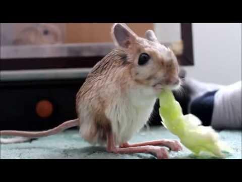 Tarbík velký a salát / Jaculus orientalis eating