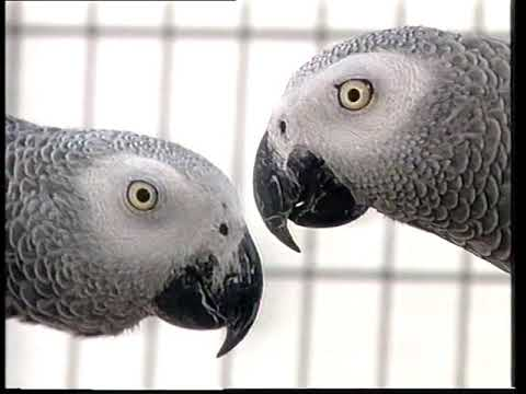 , title : 'African Grey Parrots   Care and Breeding   Part 1 (Full)