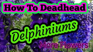 PRUNING BACK DELPHINIUM FOR WINTER