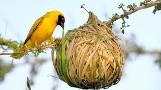 15 Most Amazing Nests In The Animal World!