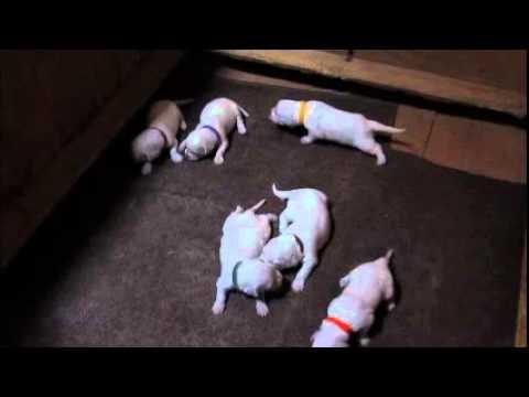 Minnies female pups at 2 1/2 wks..