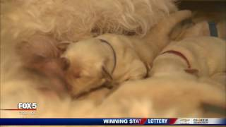 Canine Assistants welcomes two new litters of puppies