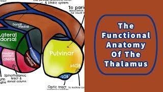 The Functional Anatomy of the Thalamus