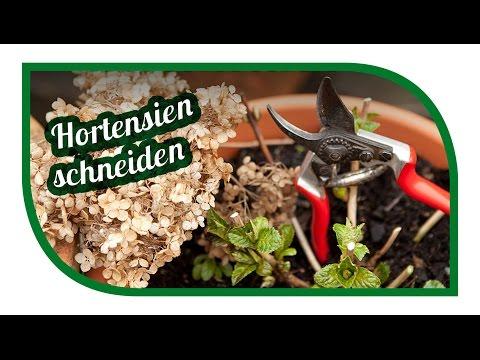 Hortensien richtig schneiden 🌺 Ball-, Rispen-, Schneeball-, Tellerhortensien pflegen
