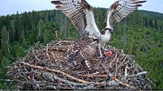 Ten fish deliveries to the nest of the osprey