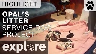 Opal Shows Off Her Beautiful Litter - Service Dog Project - Live Cam Highlight