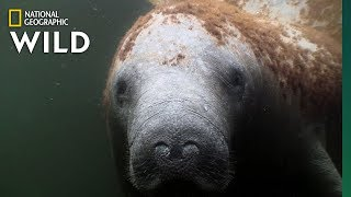 """Manatees Are the """"Sea Cows"""" of the Coasts 