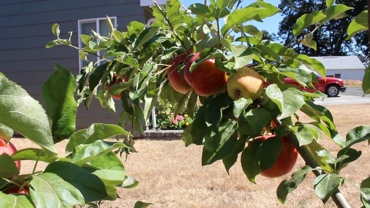 Сорт яблок Хани Крисп  Honeycrisp  Apples