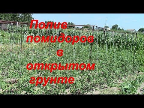 Полив помидоров на открытом грунте.