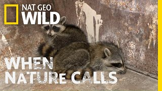 Watch as Two Raccoons Get Rescued   When Nature Ca...