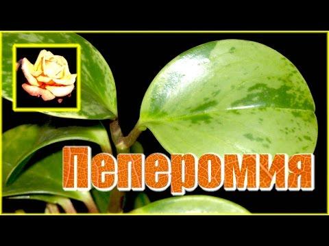 Пеперомия. Уход и размножение. Комнатные растения.