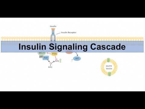 Insulin Signaling Cascade and Downstream Effects - Biochemistry Lesson