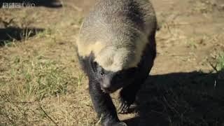 Смотреть онлайн Умному животному не дают сбежать