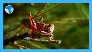Panic in Juja farm over alleged locust invasion