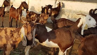 Barbari Bakri ka lot / Females bunch of Goat - hmong video