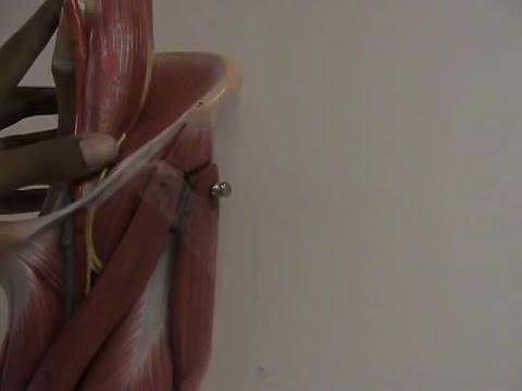 Les muscles influencent la brutalité du choc