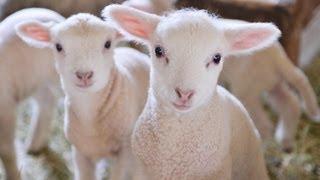 【兵庫】まるでぬいぐるみ。羊ベイビーの可愛さにキュン死!