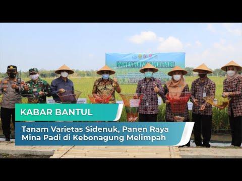 Tanam Varietas Sidenuk, Panen Raya Mina Padi di Kebonagung Melimpah | Kabar Bantul