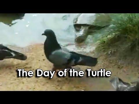 Želva vs. holub