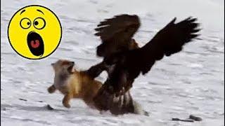 18 НАПАДЕНИЙ ОРЛОВ СНЯТЫХ НА КАМЕРУ выпуск 17 ноября 2018 г. Орел на охоте Eagle Attack